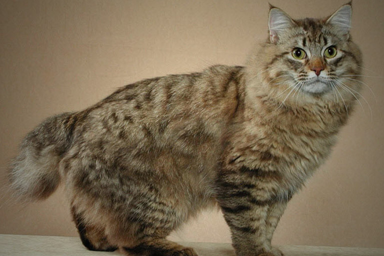 Image of American Bobtail Cat Breed