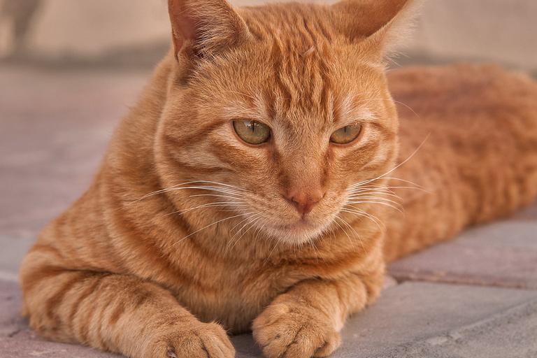 Arabian Mau domestic cat breed