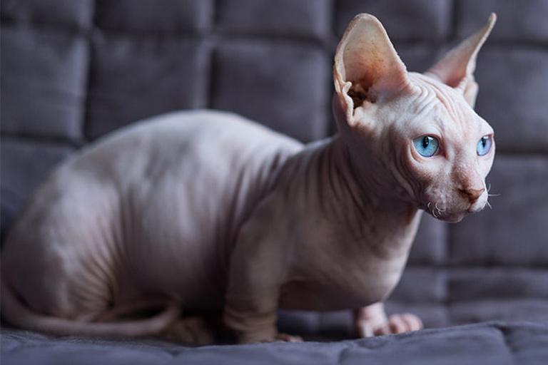 Bambino domestic cat breed
