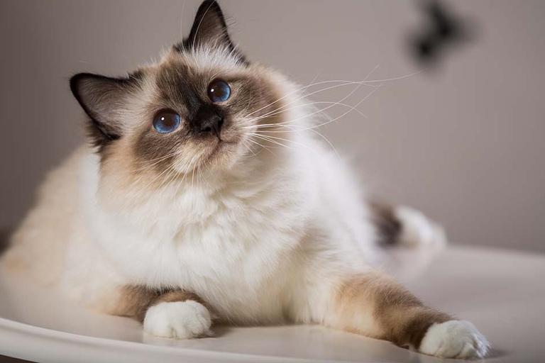 Birman domestic cat breed