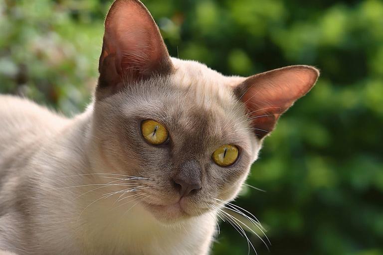 Burmese domestic cat breed