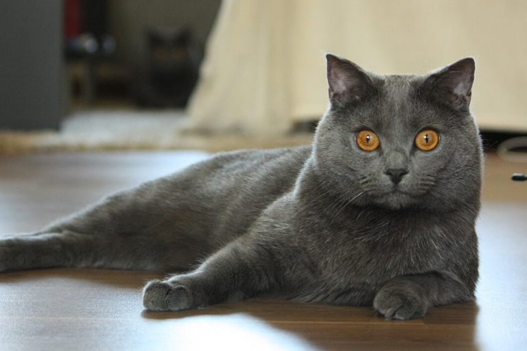 Chartreux domestic cat breed