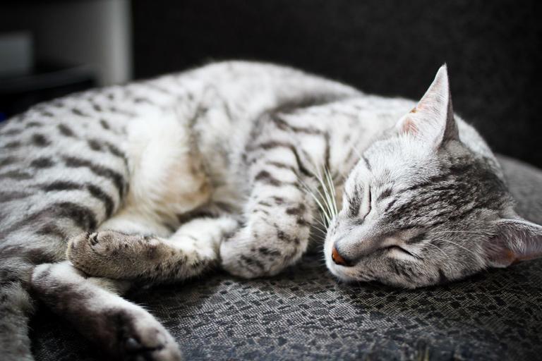 Egyptian Mau domestic cat breed