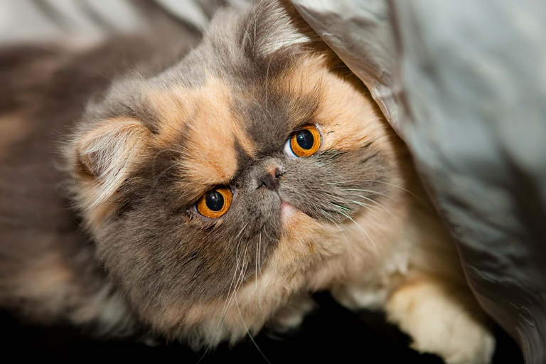 Exotic shorthair domestic cat breed