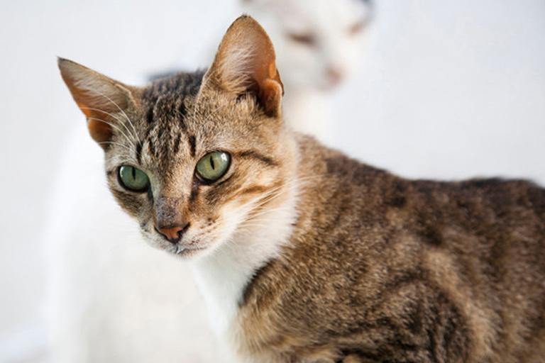 aegean domestic cat breed
