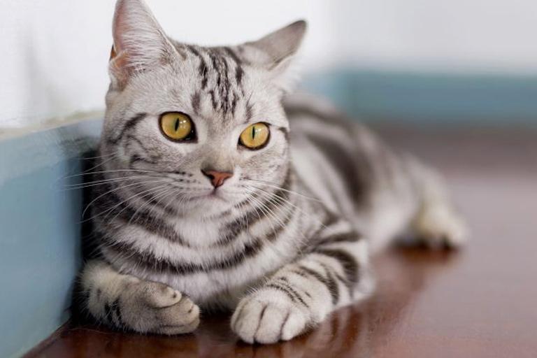 American Shorthair Cat- Breed