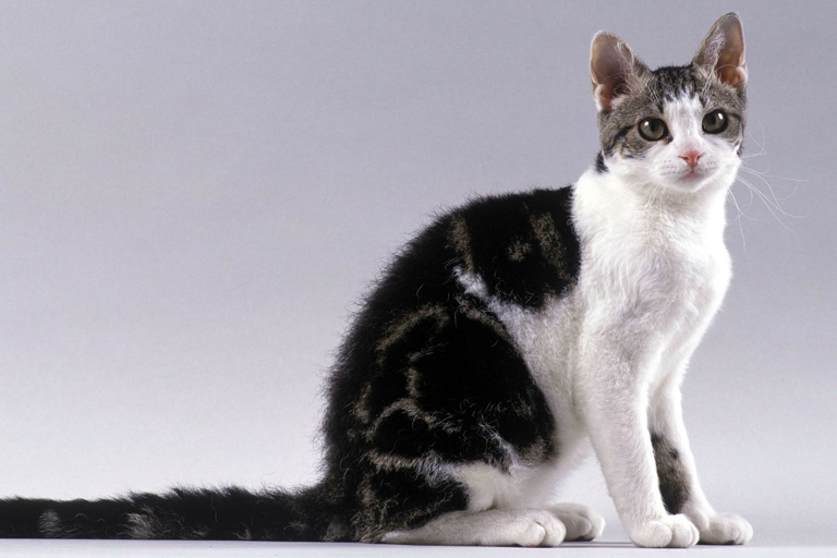 American wirehair domestic cat breed