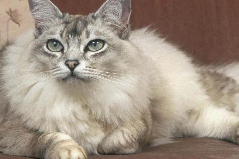 Asian semi-longhair domestic cat breed