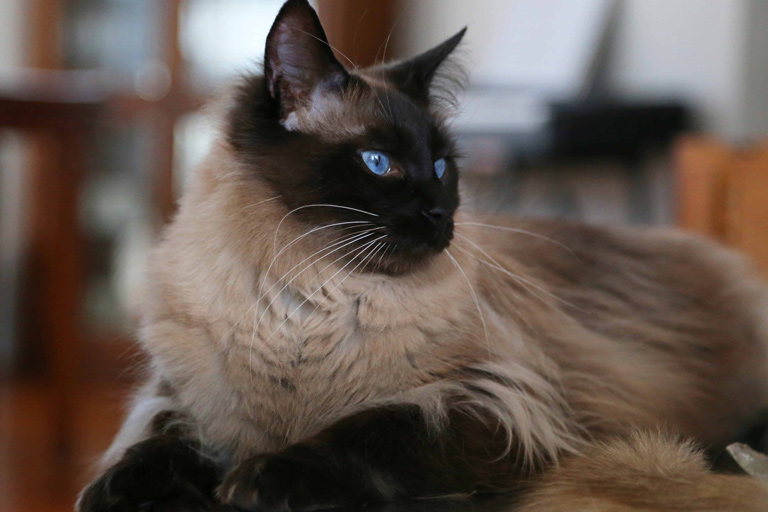 balinese domestic cat breed