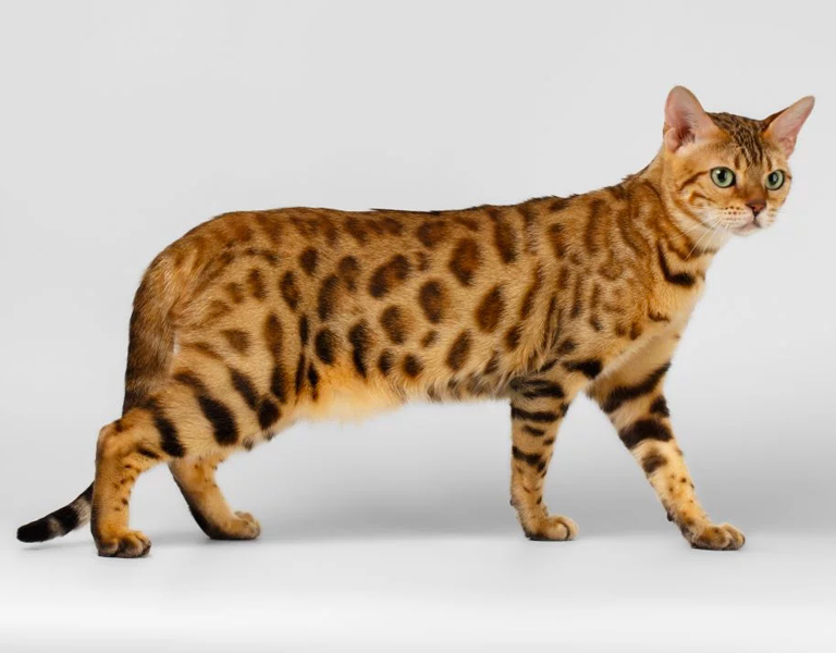 bengal hybrid cat breed