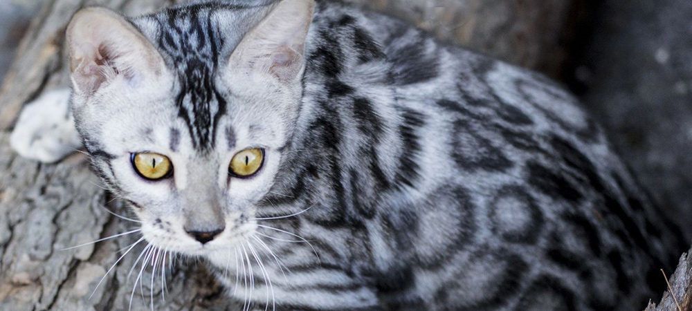 Black Silver Tabby Bengal Cat