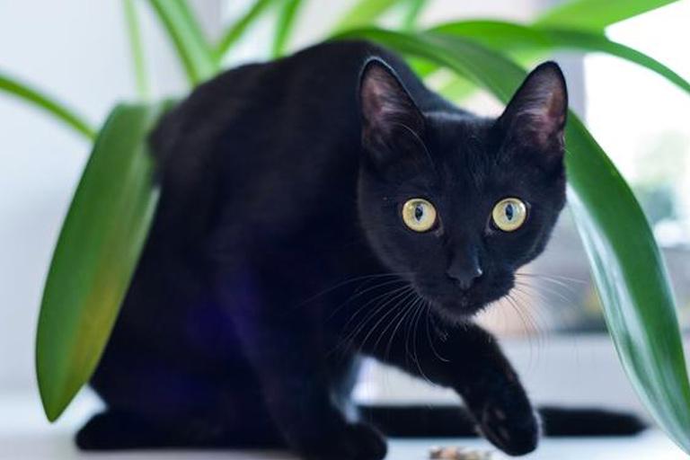 Bombay domestic cat breed