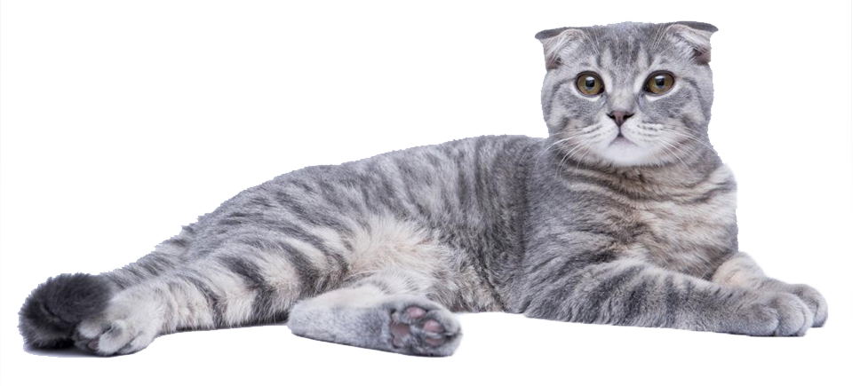 Cat Spotlight: Scottish Fold