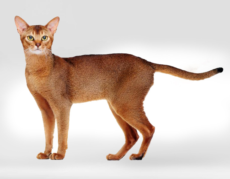 chausie hybrid cat breed