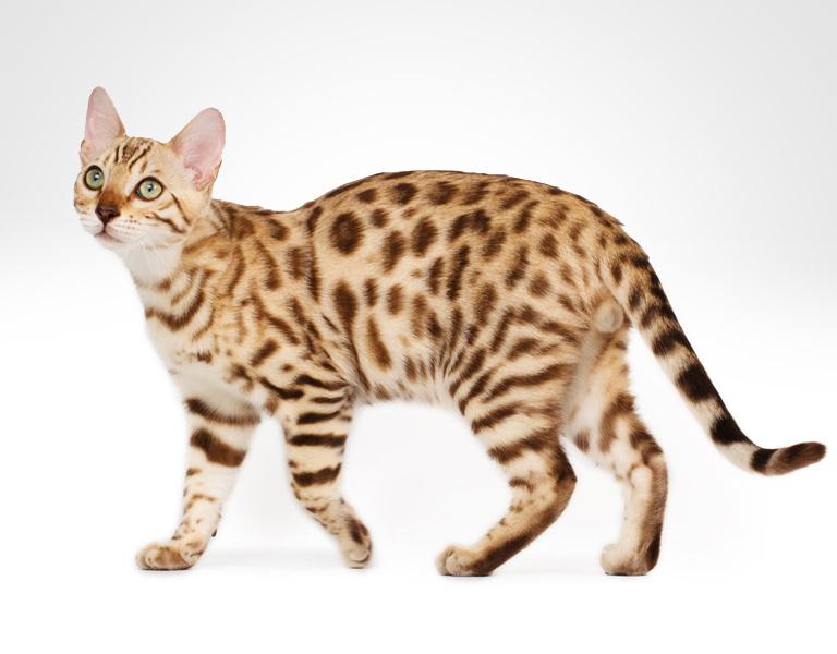 cheetoh hybrid cat breed