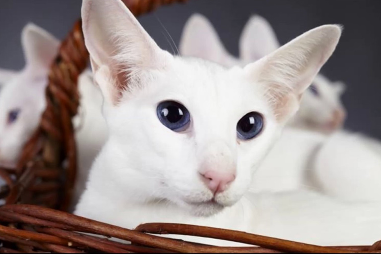 Colorpoint Shorthair domestic cat breed