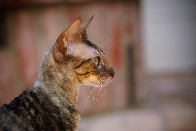 Cornish Rex domestic cat breed