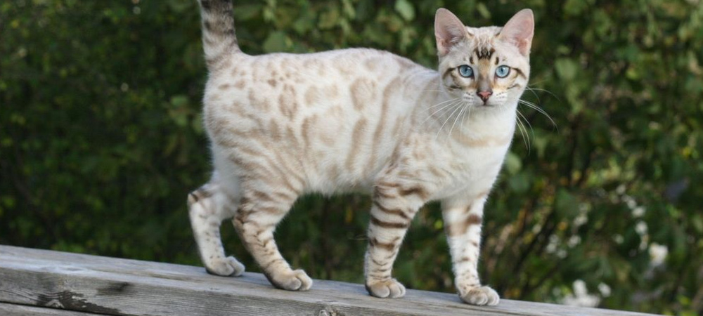 Seal Silver Lynx Point Bengal Cat
