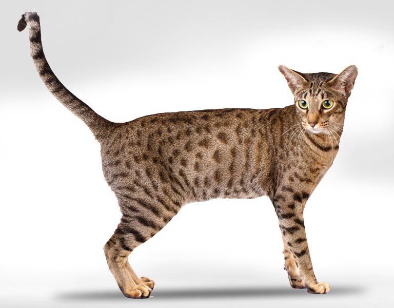 serengeti hybrid cat breed