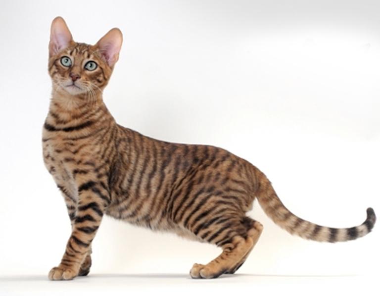 toyger hybrid cat breed