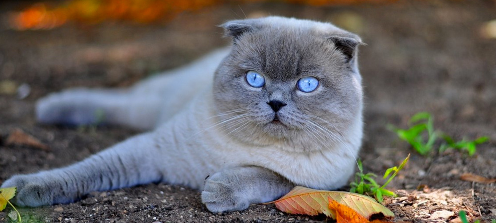 Scottish Fold With Blue Eyes