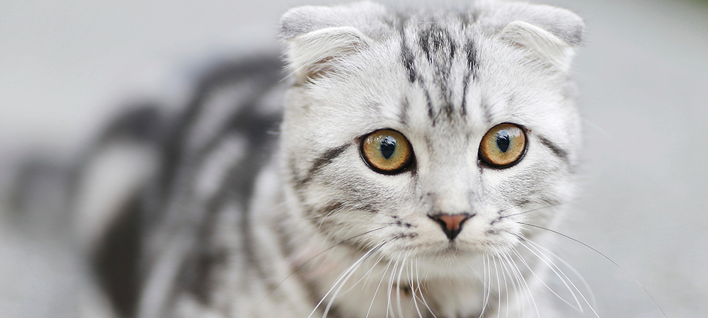 Silver Striped Scottish Fold