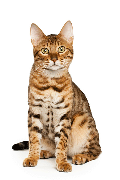 Bengal cat used to breed Serengeti