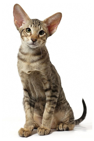 Oriental Shorthair used to breed Serengeti