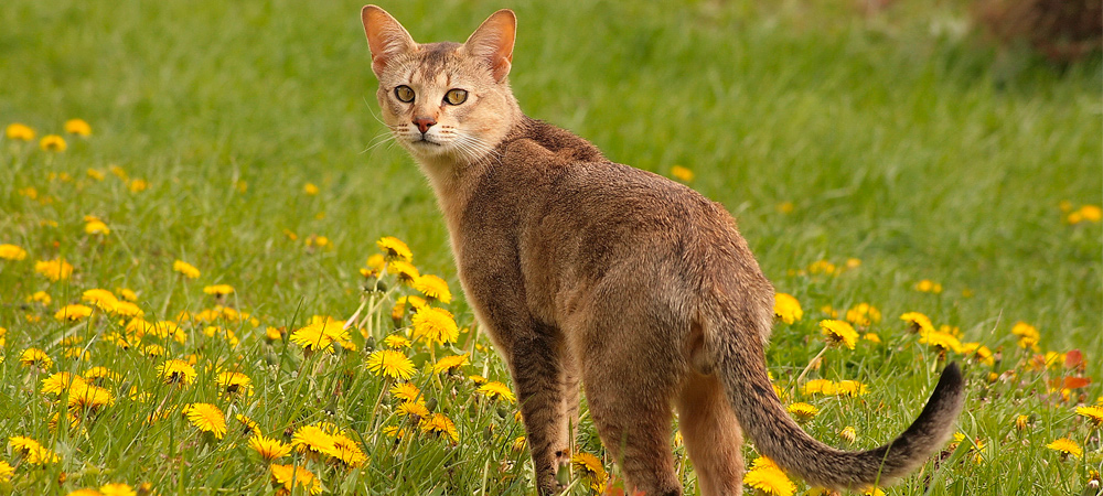 Chausie Cat In A Meadow
