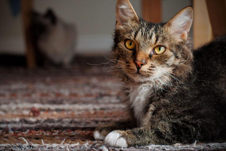 LaPerm Cat Breed