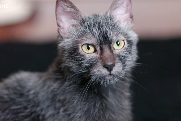 Lyoki Cat