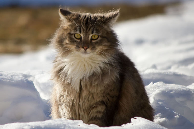 Norwegian Forest Cat Breed