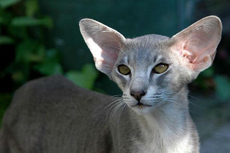 Oriental Shorthair Cat Breed
